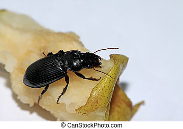 carabidae - a kind of black insects