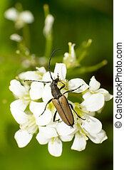 Carabidae and flowers - Close-up brown Carabidae eat nectar