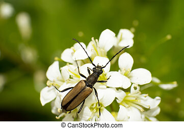 Carabidae and flowers - Close-up brown Carabidae eat nectar