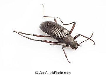 Carabidae - The carabid the side close-up.