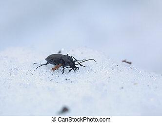Carabus Beetle In Snow - Carabus granulatus beetle in the ...
