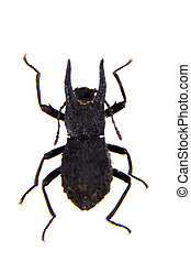 Carabus beetle on the white background - Carabus beetle in ...