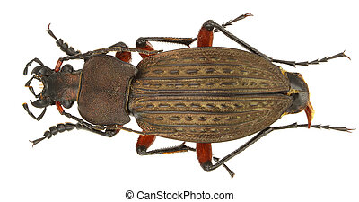 Carabus cancellatus (ground beetle) isolated on a white ...