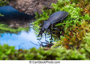 Carabus drinking water - Carabus on the mossy bank of ...