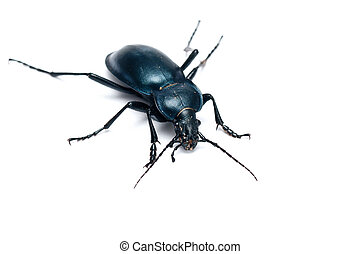 Carabus glabratus, a ground beetle isolated on white ...