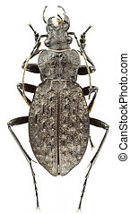 Carabus variolosus isolated on a white background.