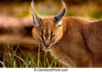 caracal, -, 동물
