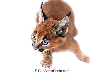 Caracal baby cat - Caracal kitten on white studio background
