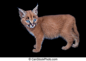 Caracal baby isolated