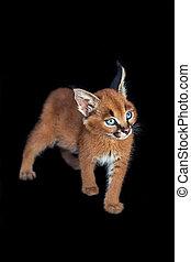 Caracal baby - caracal kitten isolated