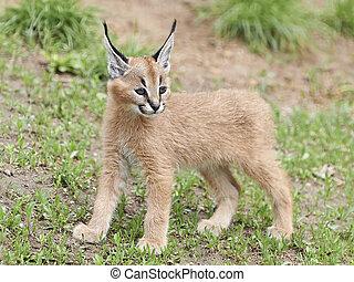Caracal (Caracal caracal) - Cute and furry baby Caracal in...