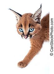Caracal cat - Caracal kitten on white studio background