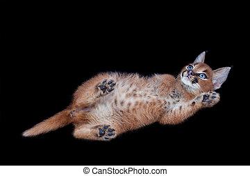 Caracal kitten - caracal kitten lying on its back