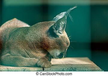caracal, medium-sized, 中央である, 野生, 中央, 自然, 東, 前に, india., 1(人・つ), アフリカ, アジア, ネイティブ, アフリカ, ねこ, 予備, feeding.