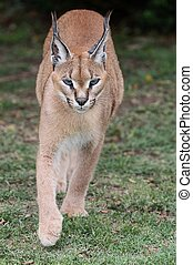 Caracal or African Lynx walking across green grass
