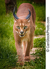 Caracal with nice eyes going straight to catch spoil