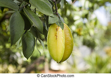Carambola also known as starfruit on a tree.