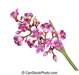 Carambola flower - Carambola starfruit flower isolated on...