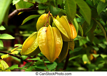 carambola - star fruit on tree