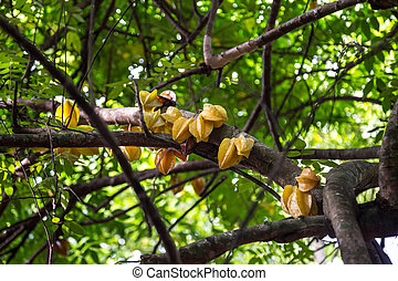 Carambola tree in a tropical forest in Cuba