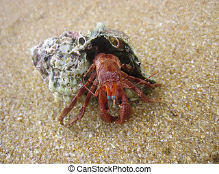 caranguejo, haga, buzio, na, areia