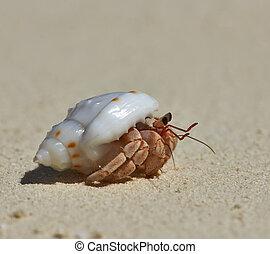 caranguejo hermit, ligado, um, praia