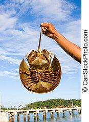 caranguejos, mão, segurando, ferradura