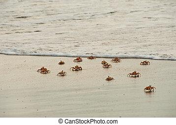 caranguejos,  scuttling