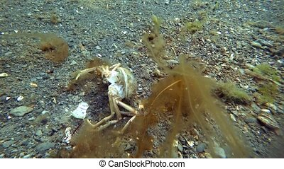 Carapace shell crab hios underwater on seabed of Kara Sea...