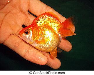 Carassius auratus or ryukin goldfish 2 - Ryukin goldfish on ...