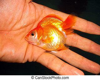 Carassius auratus or ryukin goldfish - Ryukin goldfish on ...