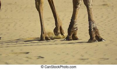 Caravan. - Teamster pulling three camels across the desert.
