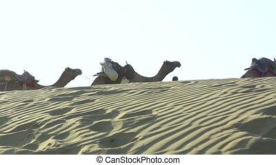 Caravan. - Camel caravan roaming through the Thar desert,...