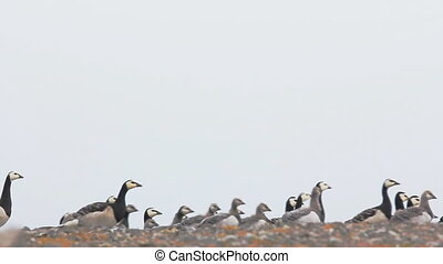 caravan of very beautiful wild geese with goslings moves...