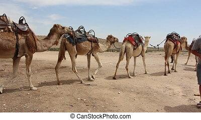caravane, chameau, attente