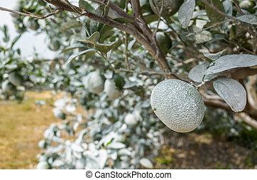 carbonato, blanco, árboles, calcio, naranja