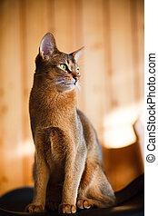 carbonice, marrón, abyssinian, joven, gato