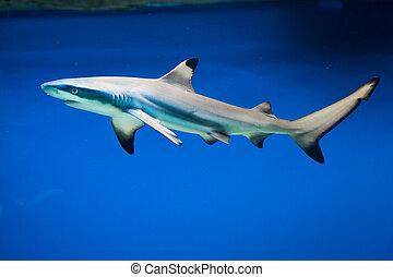 carcharhinus, melanopterus, -, blacktip, 礁石 鯊魚