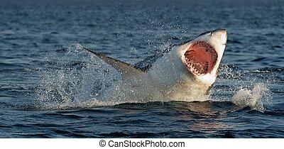 (carcharodon, 破ること, 偉人, carcharias), サメ, シール, 攻撃, 白