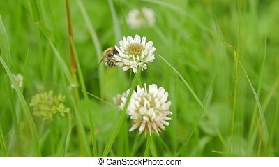Carder Bee collecting nectar from white clover. - Bee...