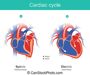 Cardiac cycle infographic. The heart is the organ of the human body that pumps blood to the body. Anatomy infographic.