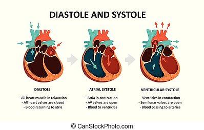 cardiaque, diastole, systole., cycle
