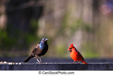 Cardinal and common Grackle