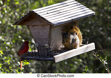 Cardinal and Squirrel Sharing Lunch