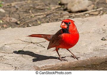 Cardinal at the water's edge