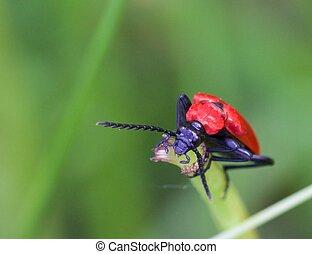Cardinal Beetle Macro 02