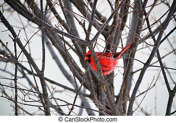Cardinal Bird during Snow