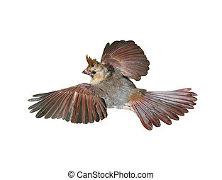 Cardinal Bird - Fledgling female cardinal bird flown down ...
