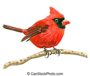 Cardinal bird painted with watercolors isolated on white ...