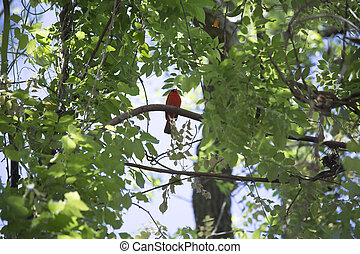 Cardinal - Bright red male cardinal perched on a tree limb
